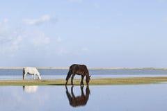 Pastando cavalos no lago Qinghai Imagens de Stock