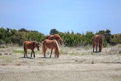 Pastando cavalos selvagens Fotografia de Stock