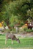 Pastando cervos fotografia de stock royalty free