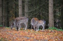 Pastando cervos Foto de Stock