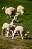 Pastando cordeiros com ovelhas Imagem de Stock