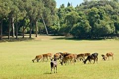 Pastando deers Imagens de Stock Royalty Free
