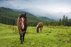 Pastando el caballo en la montaña paste en las montañas cárpatas después de lluvia imágenes de archivo libres de regalías