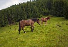 Pastando el caballo en la montaña paste en las montañas cárpatas después de lluvia imagen de archivo