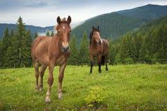 Pastando el caballo en la montaña paste en las montañas cárpatas después de lluvia fotografía de archivo