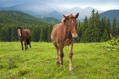 Pastando el caballo en la montaña paste en las montañas cárpatas después de lluvia fotos de archivo