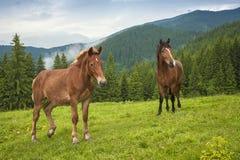 Pastando el caballo en la montaña paste en las montañas cárpatas después de lluvia imagen de archivo libre de regalías