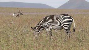 Pastando la cebra de montaña del cabo - Suráfrica metrajes