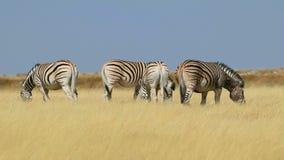 Pastando las cebras de los llanos - parque nacional de Etosha metrajes