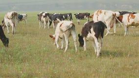 Pastando las vacas de la lechería de Holstein crían en un prado en el pueblo ruso metrajes