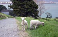 Pastando los corderos acercan a camino Imagen de archivo