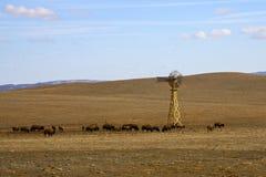 Pastando o búfalo Imagens de Stock