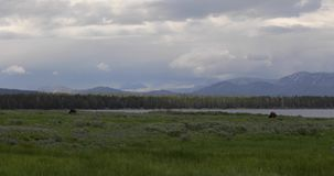 Pastando o búfalo perto de um grande lago 4k 24fps filme