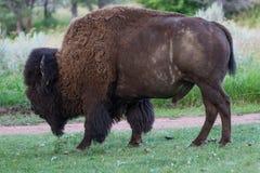 Pastando o bisonte Fotografia de Stock