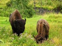 Pastando o bisonte imagens de stock