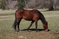Pastando o cavalo Imagens de Stock