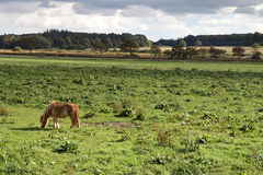 Pastando o cavalo Fotografia de Stock
