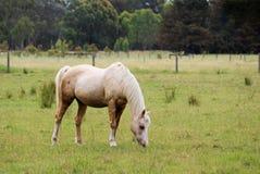 Pastando o cavalo Fotos de Stock Royalty Free