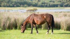 Pastando o cavalo Fotografia de Stock Royalty Free