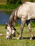 Pastando o cavalo Fotos de Stock