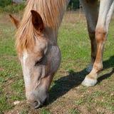 Pastando o cavalo. imagens de stock royalty free