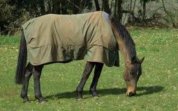 Pastando o cavalo Imagem de Stock Royalty Free