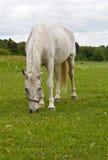 Pastando o cavalo branco. Fotografia de Stock