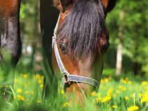 Pastando o cavalo de louro Foto de Stock Royalty Free