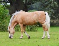 Pastando o cavalo de Palamino Imagem de Stock