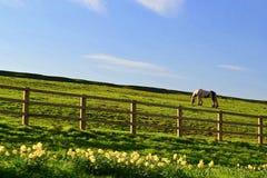Pastando o cavalo em North Yorkshire imagem de stock royalty free