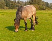 Pastando o cavalo em um prado holandês foto de stock