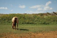 Pastando o cavalo - Kauai, Havaí Fotos de Stock Royalty Free