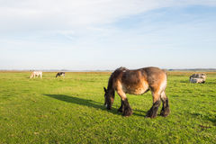 Pastando o cavalo marrom Foto de Stock Royalty Free