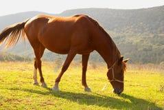Pastando o cavalo no campo. imagem de stock