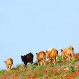 Pastando o gado Imagem de Stock