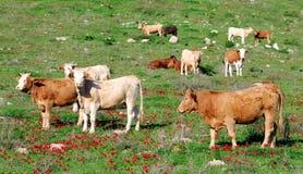 Pastando o gado Fotos de Stock