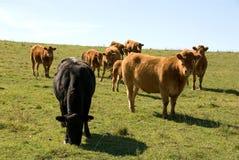Pastando o gado Fotografia de Stock