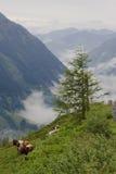 Pastando o gado no parque nacional austríaco Hohe Tauern Fotos de Stock Royalty Free