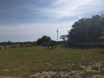Pastando o passeio do cavalo Fotos de Stock