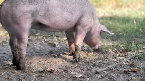 Pastando o porco em um jardim zoológico de trocas de carícias video estoque