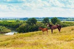 Pastando o potro e o cavalo no campo Foto de Stock