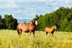 Pastando o potro e o cavalo no campo Imagens de Stock Royalty Free