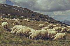 Pastando o rebanho dos carneiros Foto de Stock