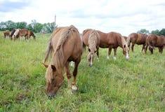 Pastando o rebanho dos cavalos Foto de Stock