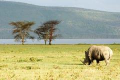 Pastando o rinoceronte Fotografia de Stock