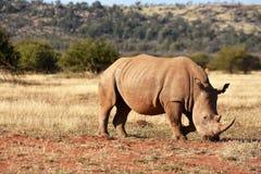 Pastando o rinoceronte Imagem de Stock Royalty Free