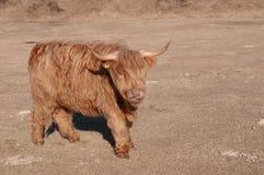 Pastando o touro vermelho Imagem de Stock Royalty Free