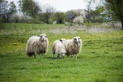 Pastando os carneiros brancos com os pontos pretos no prado Fotos de Stock Royalty Free