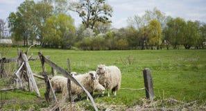 Pastando os carneiros brancos com os pontos pretos nos olhos Fotografia de Stock
