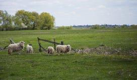 Pastando os carneiros brancos com os pontos pretos nos olhos Foto de Stock